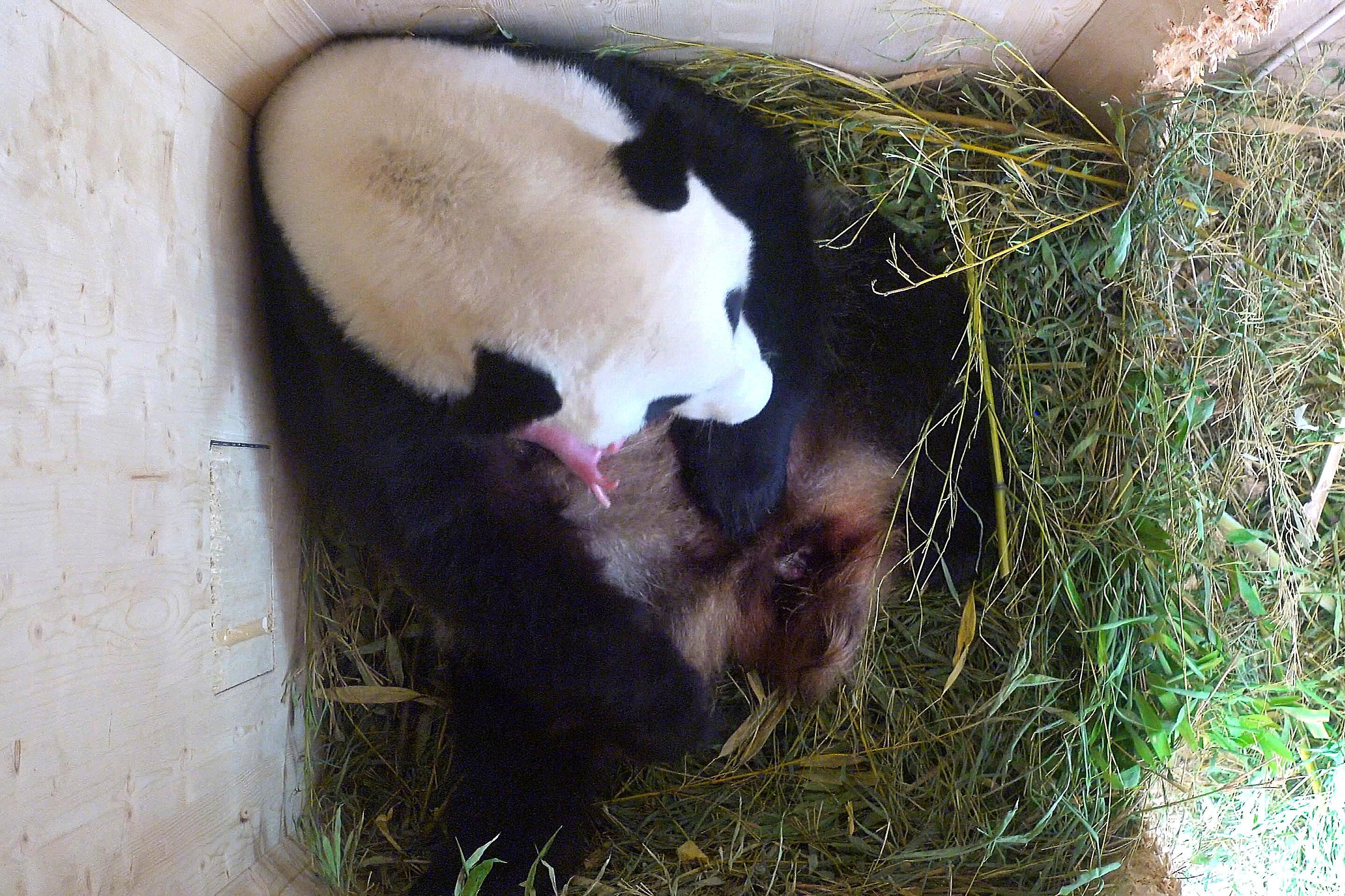 Bild zu Großer Panda, Wien, Schönbrunn, Baby, Jungtier