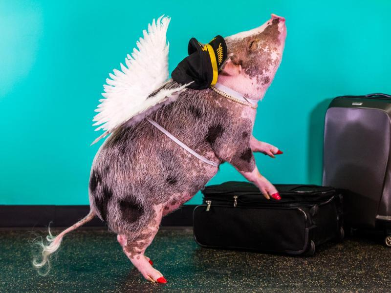 Bild zu Flughafenschwein LiLOu