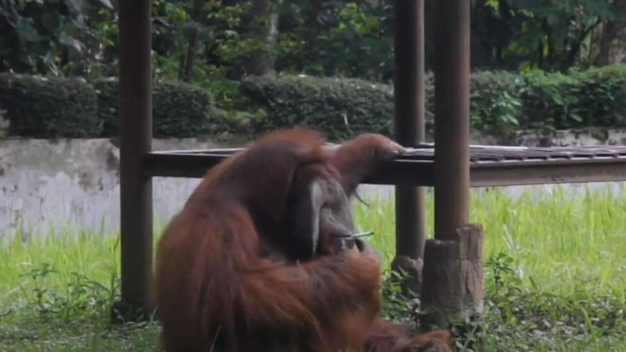 Bild zu Indonesien: Rauchender Orang-Utan sorgt für Empörung