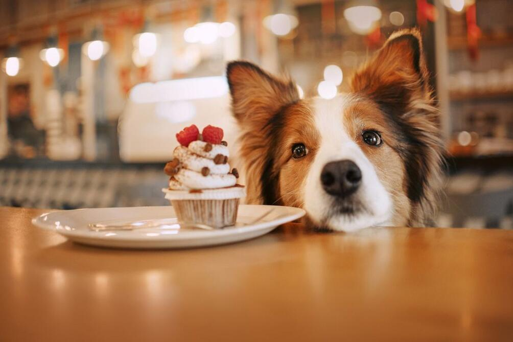 Hunde, Vierbeiner, Lebensmittel, giftig, Vergiftung