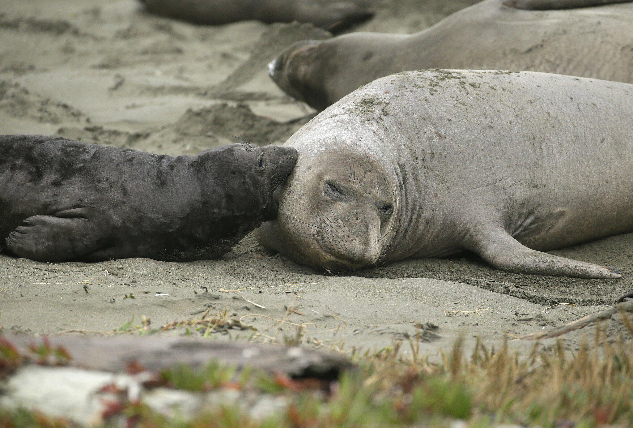 Bild zu See-Elefanten nehmen nach «Shutdown» Strand ein