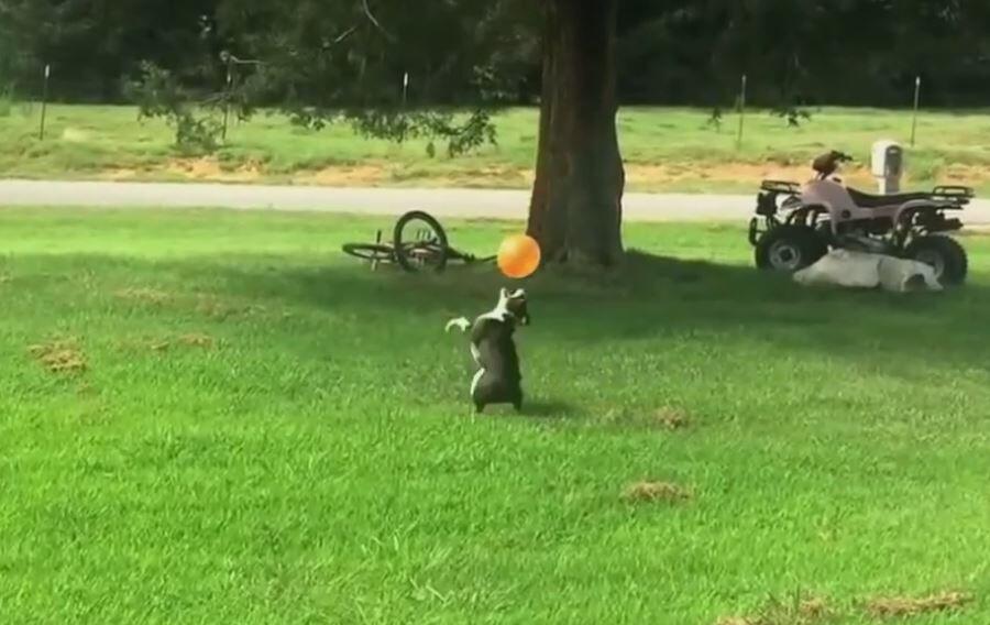 Bild zu Hund spielt mit Ballon