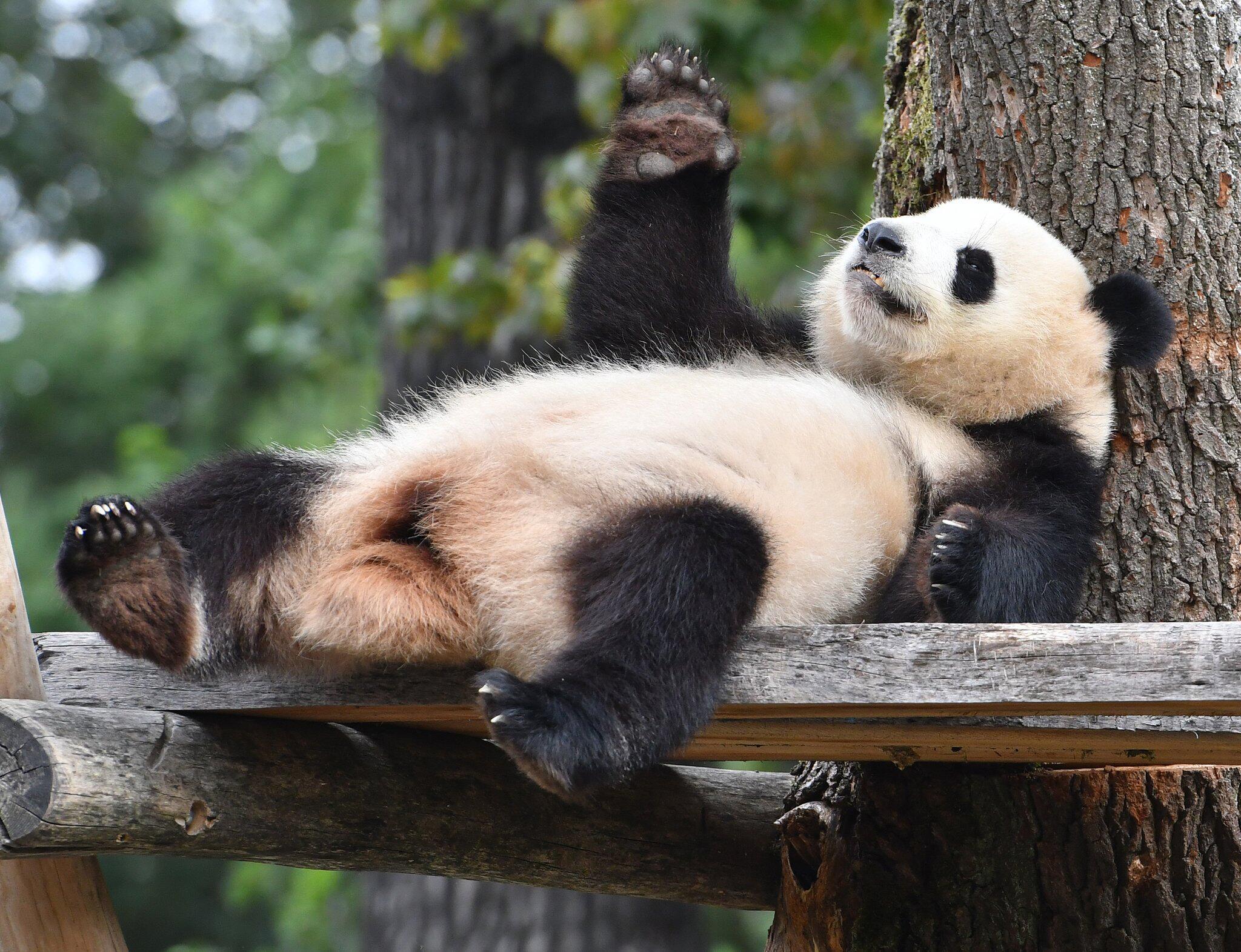 Bild zu Panda-Fieber in der Hauptstadt