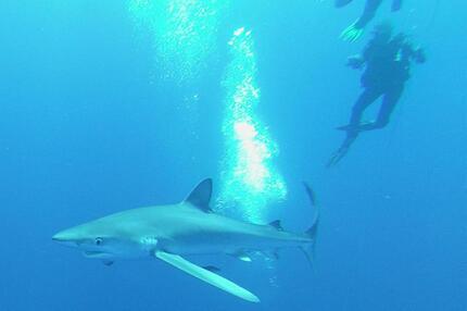 Blauhaie