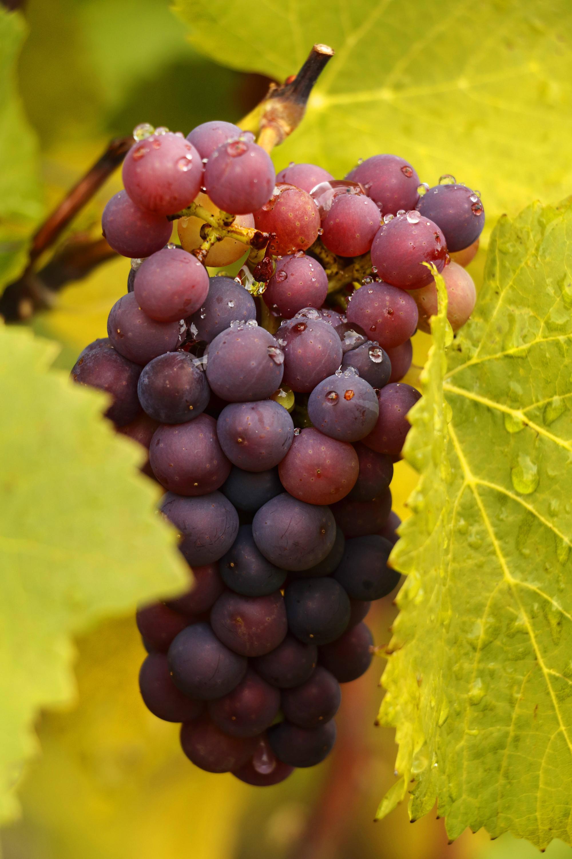 Bild zu Weintraube, saisonkalender, august