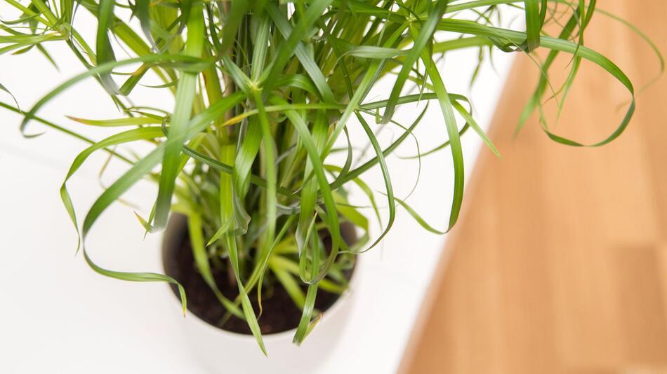 Wie schlimm ist die Schimmelschicht im Topf der Zimmerpflanze?