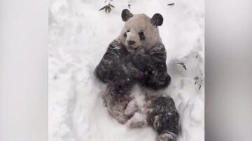 Bild zu Pandabär