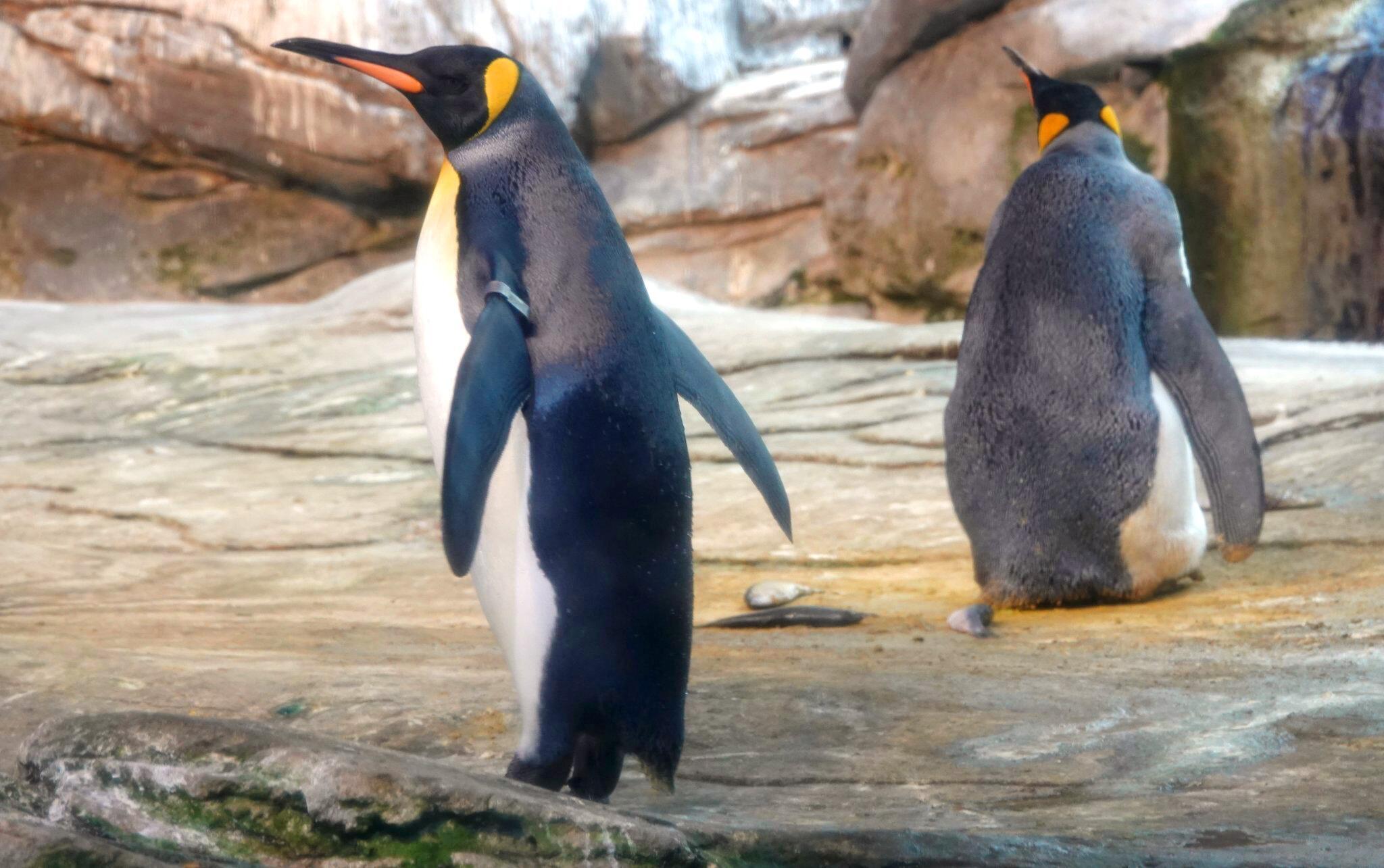 Bild zu Schwules Pinguin-Paar