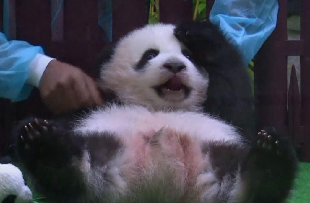 Bild zu Panda-Baby, Kuala Lumpur