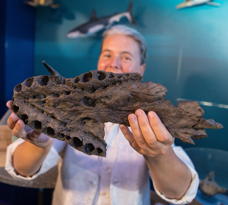 Bild zu Fossil Schwimmsaurier
