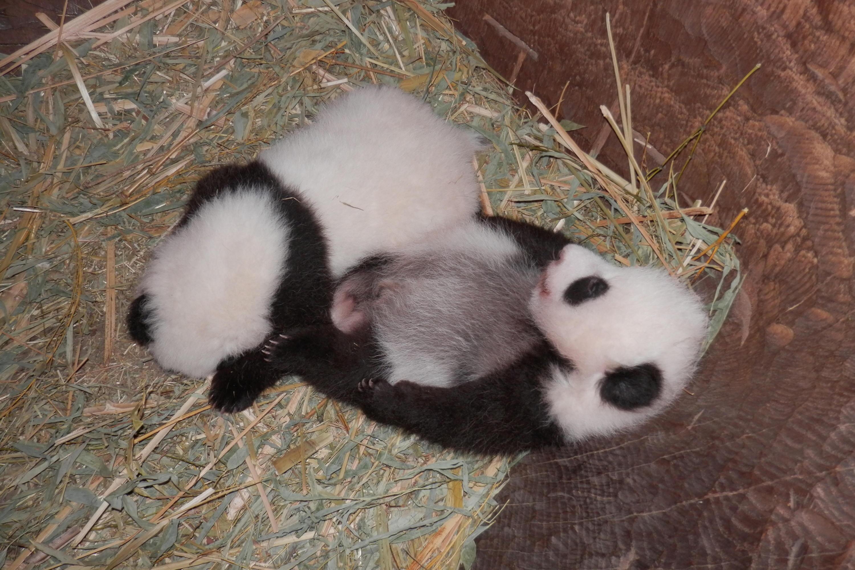 Bild zu Panda-Zwillinge, Wien, Tiergarten