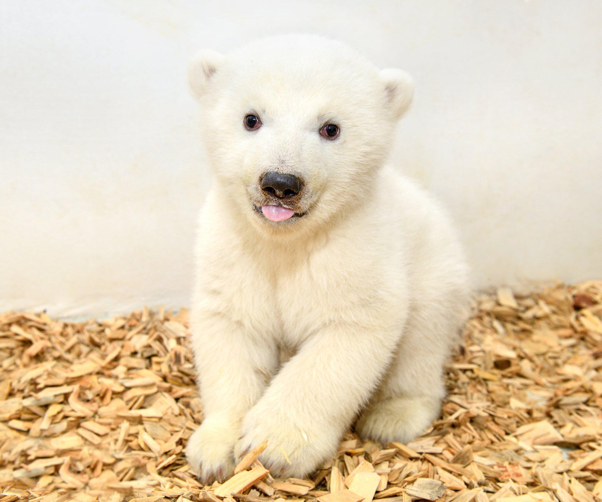 Bild zu Erster Arztbesuch bei Berliner Eisbärenmädchen