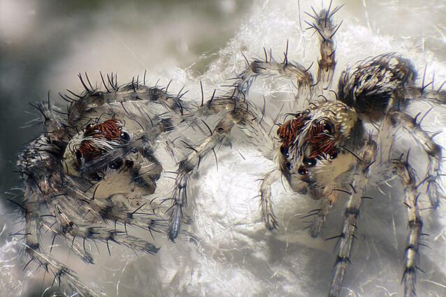Bild zu Spinnenjungtiere