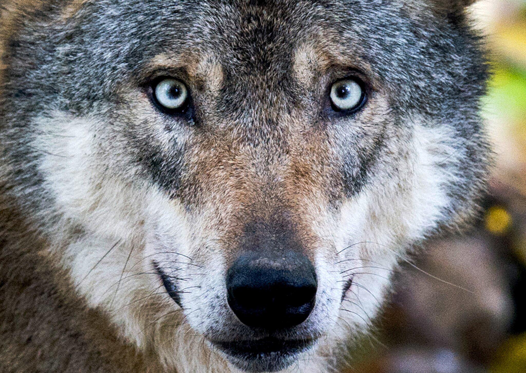 Bild zu Ist der Wolf gefährlich?