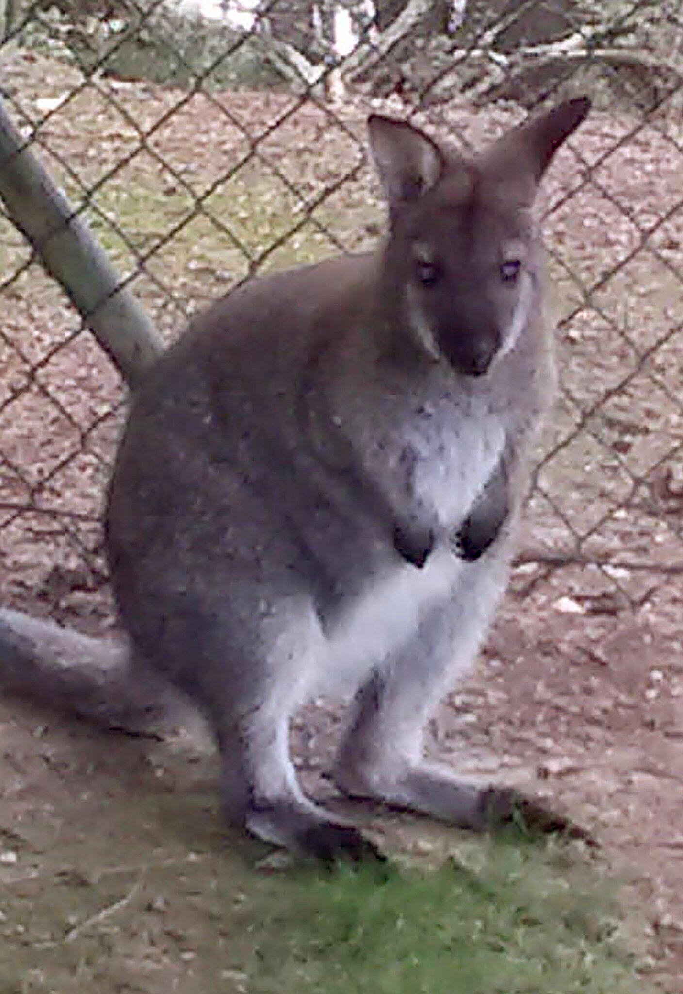 Bild zu Polizei Cham sucht nach kleinem Känguru