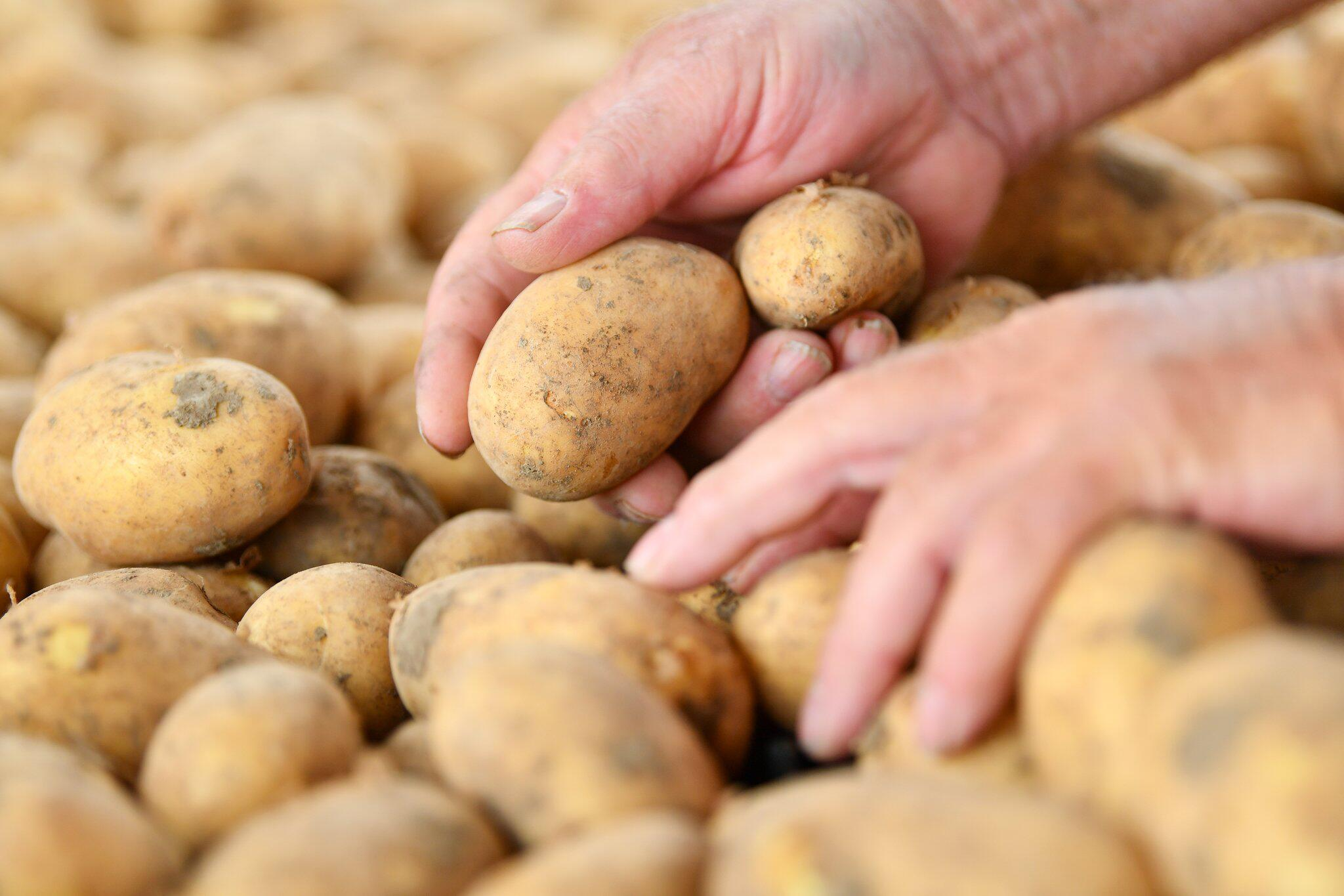 Bild zu Kartoffelernte