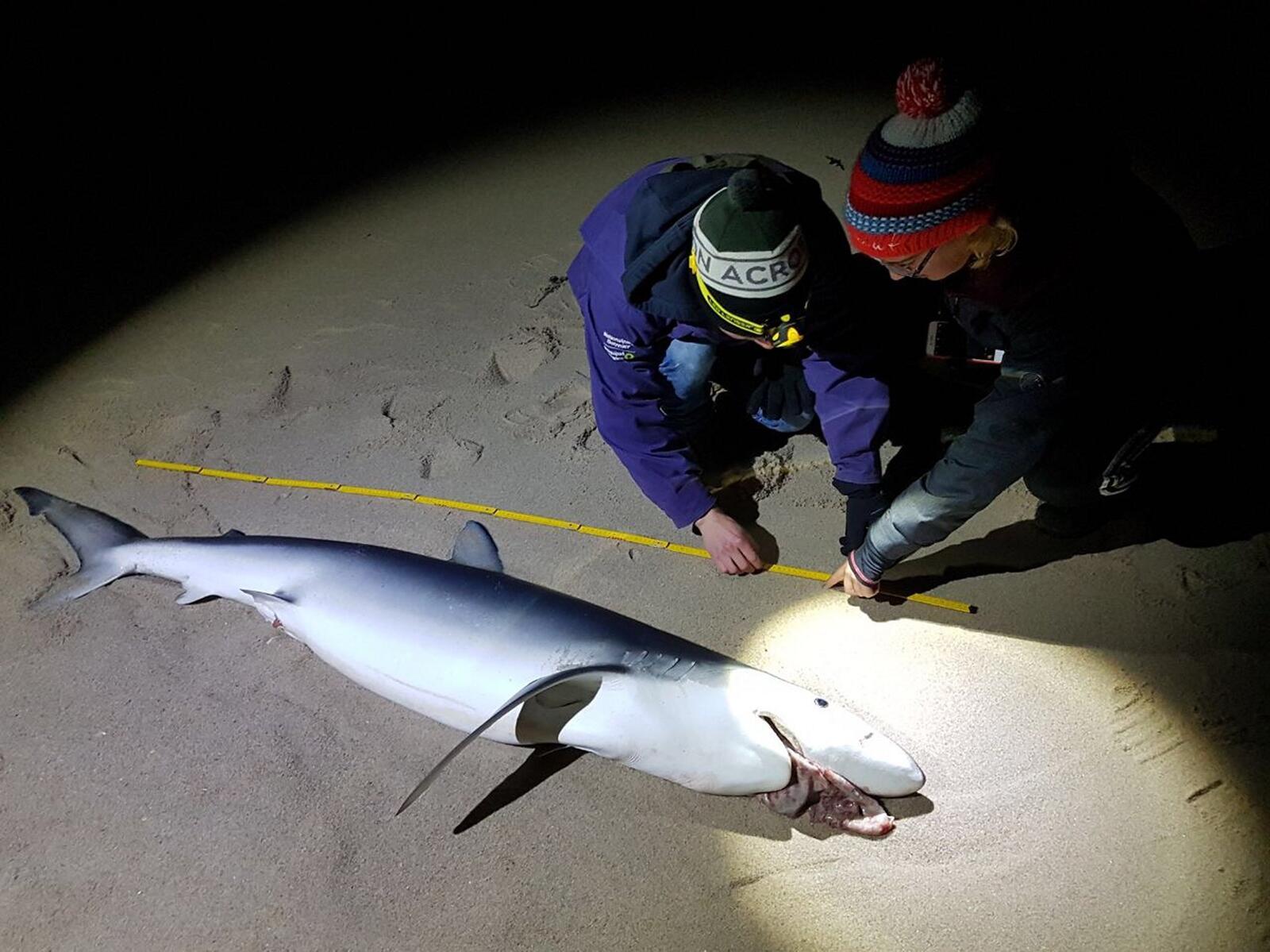 Bild zu Toter Blauhai auf Sylt angeschwemmt