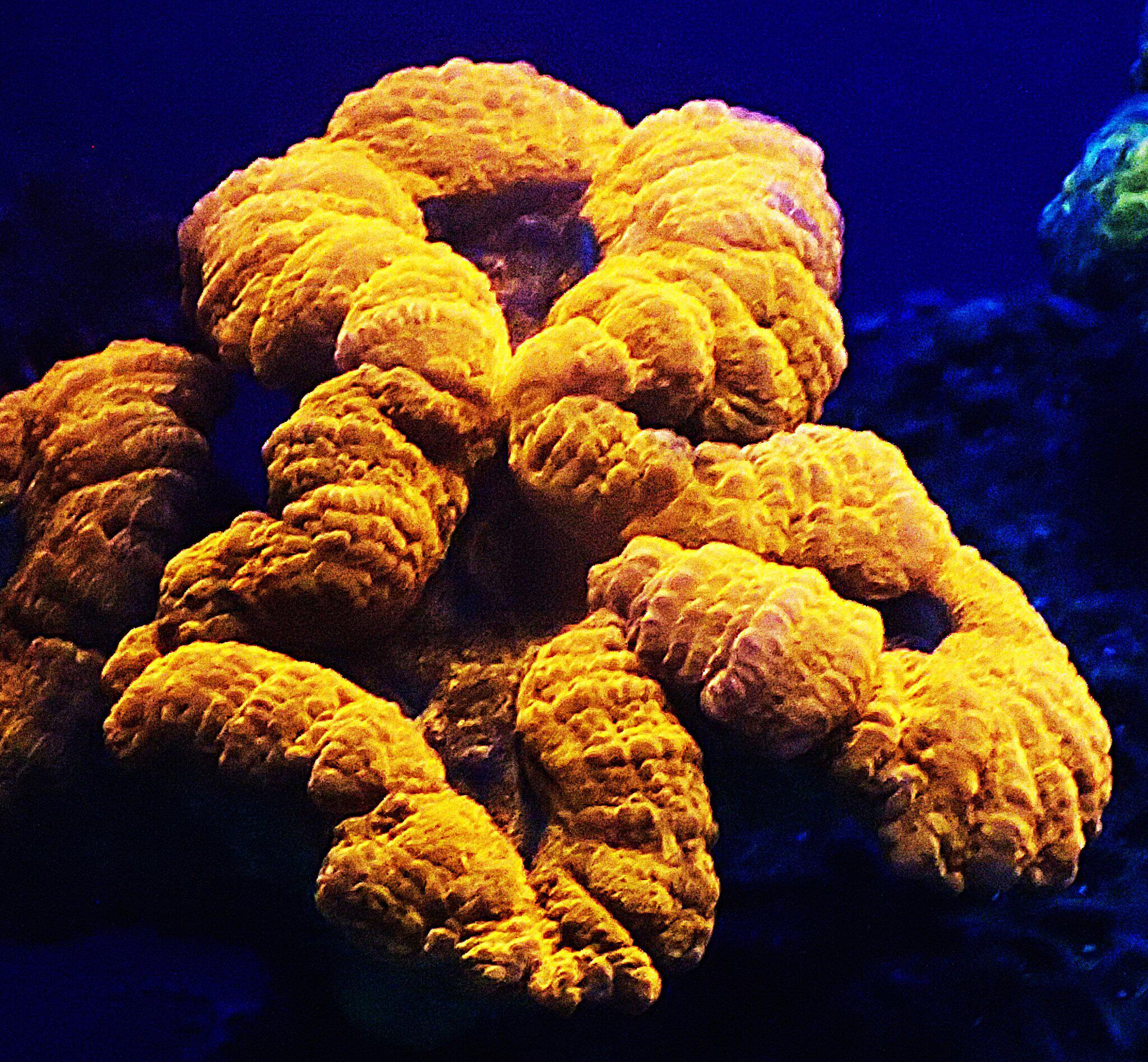 Bild zu Leuchtende Koralle