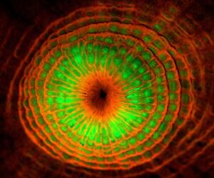 Der fluoreszierenden Polyp einer Koralle (Montastrea cavernosa)