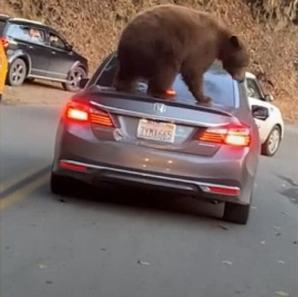 Bild zu Bär Kalifornien Auto