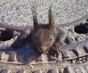 Eichhörnchen in Gullydeckel