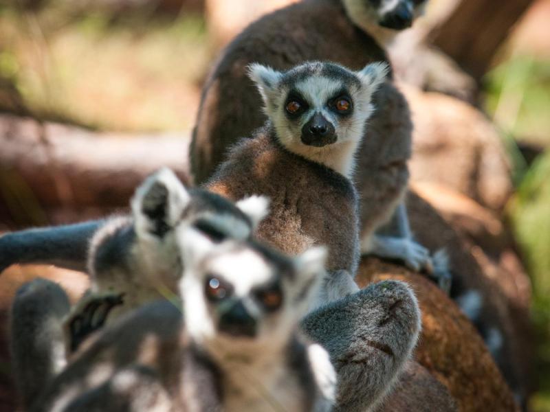 Bild zu Lemuren auf Madagaskar