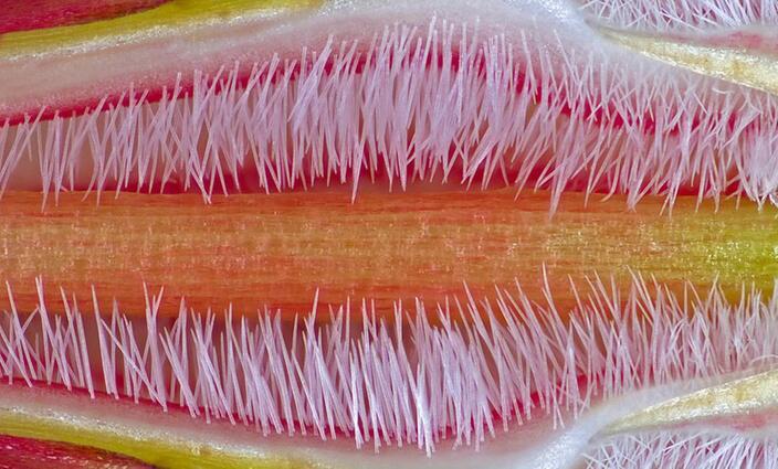 Bild zu Furchteinflößende Wüstenrose