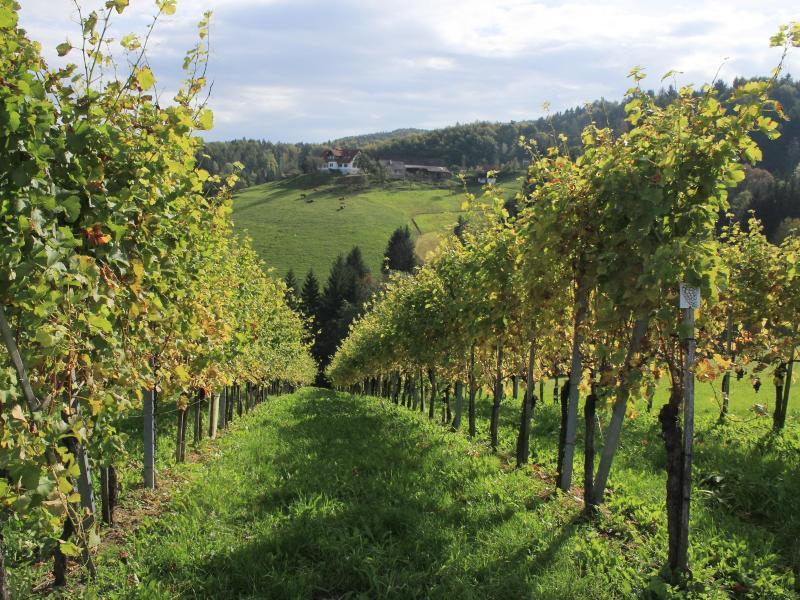 Bild zu Ein Weinberg in der Steiermark