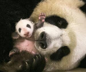Panda Baby in Frankreich