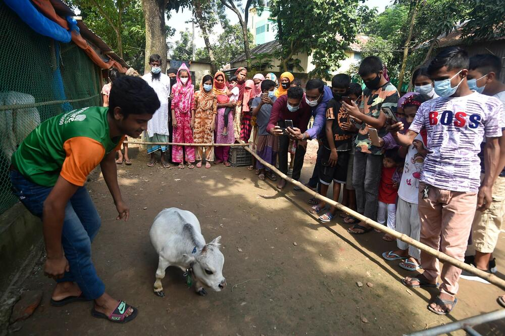 Tausende wollen Mini-Kuh in Bangladesch sehen
