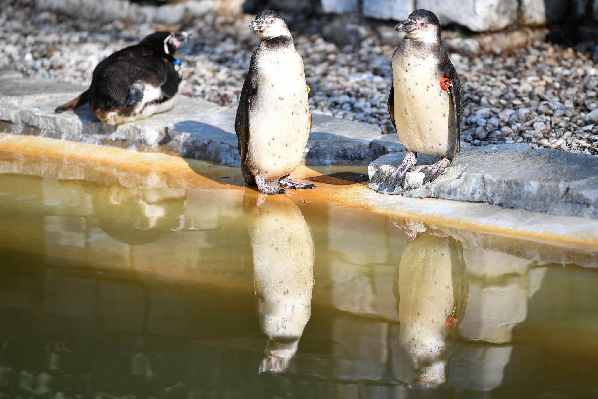 Bild zu Möglicher Diebstahl von Pinguin in Mannheim