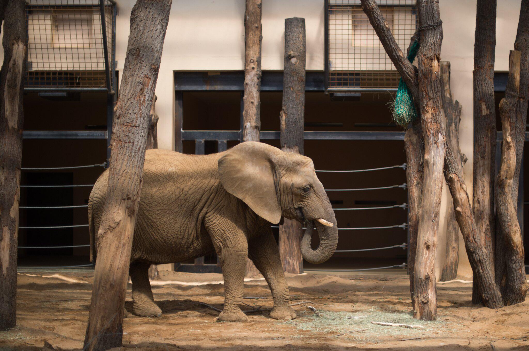 Bild zu Unfall im Zoo: Elefantendame klemmt ihren Rüssel in Tor ein