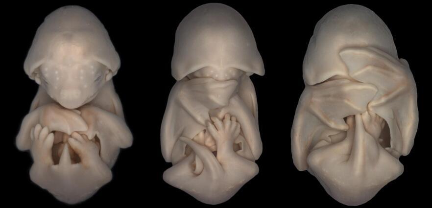 Bild zu Embryonen der Roten Samtfledermaus