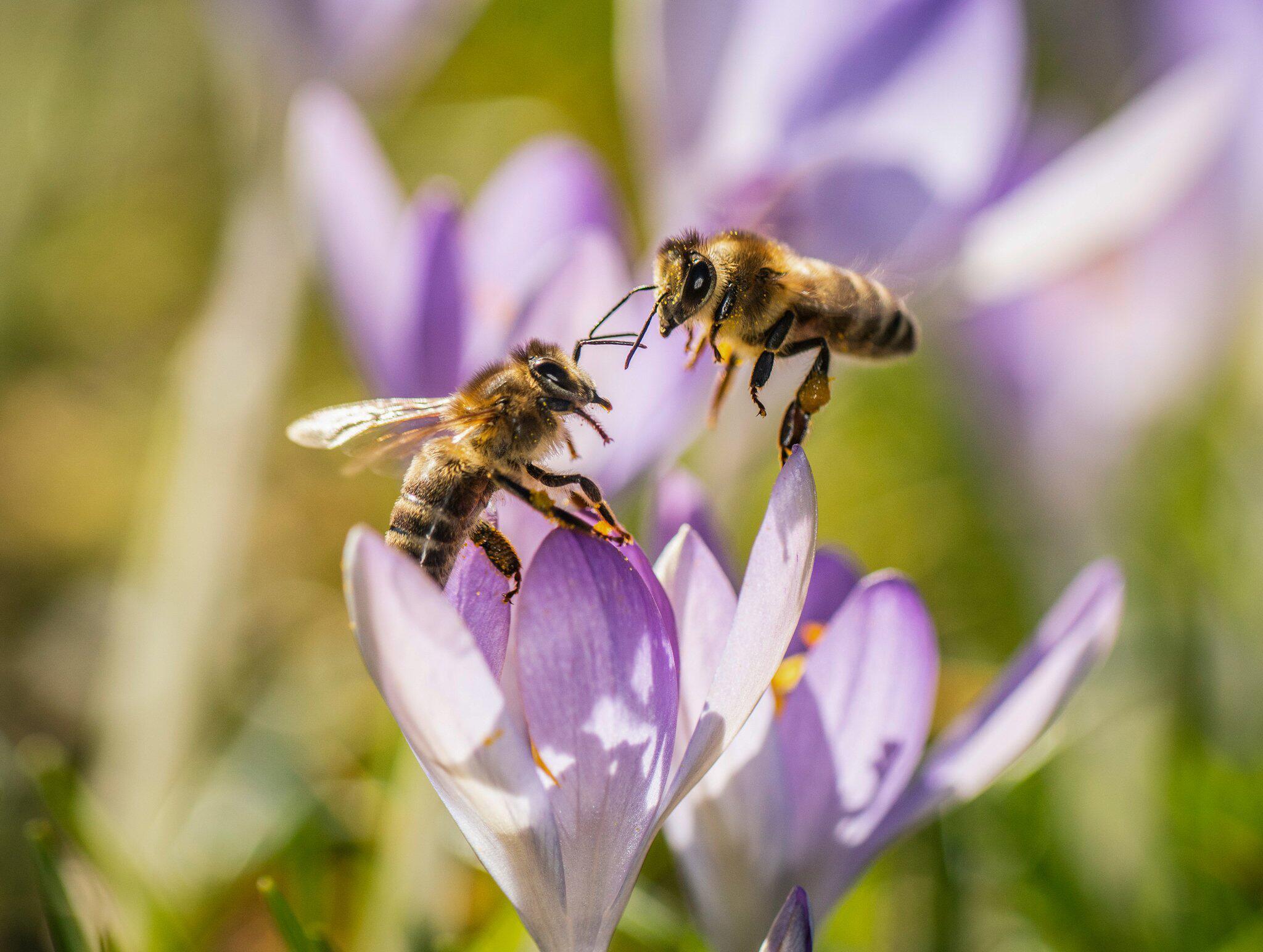 Bild zu Bienen, Blüte