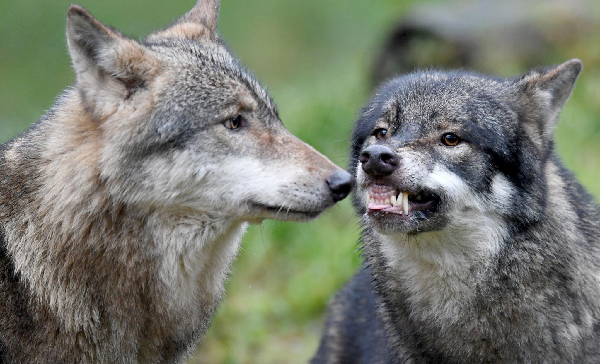 Bild zu Wolf Janosch stirbt nach Beißerei mit Bruder Alexander