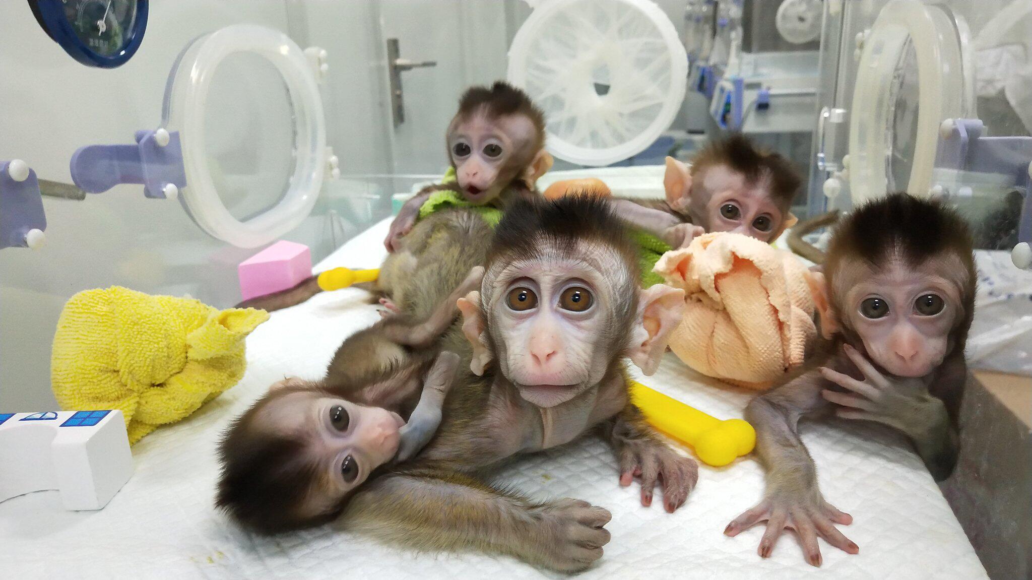 Bild zu China klont erstmals mehrere genveränderte Affen