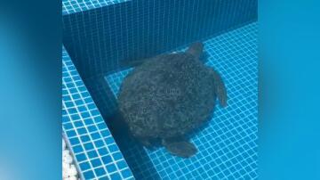 Bild zu Riesenschildkröte
