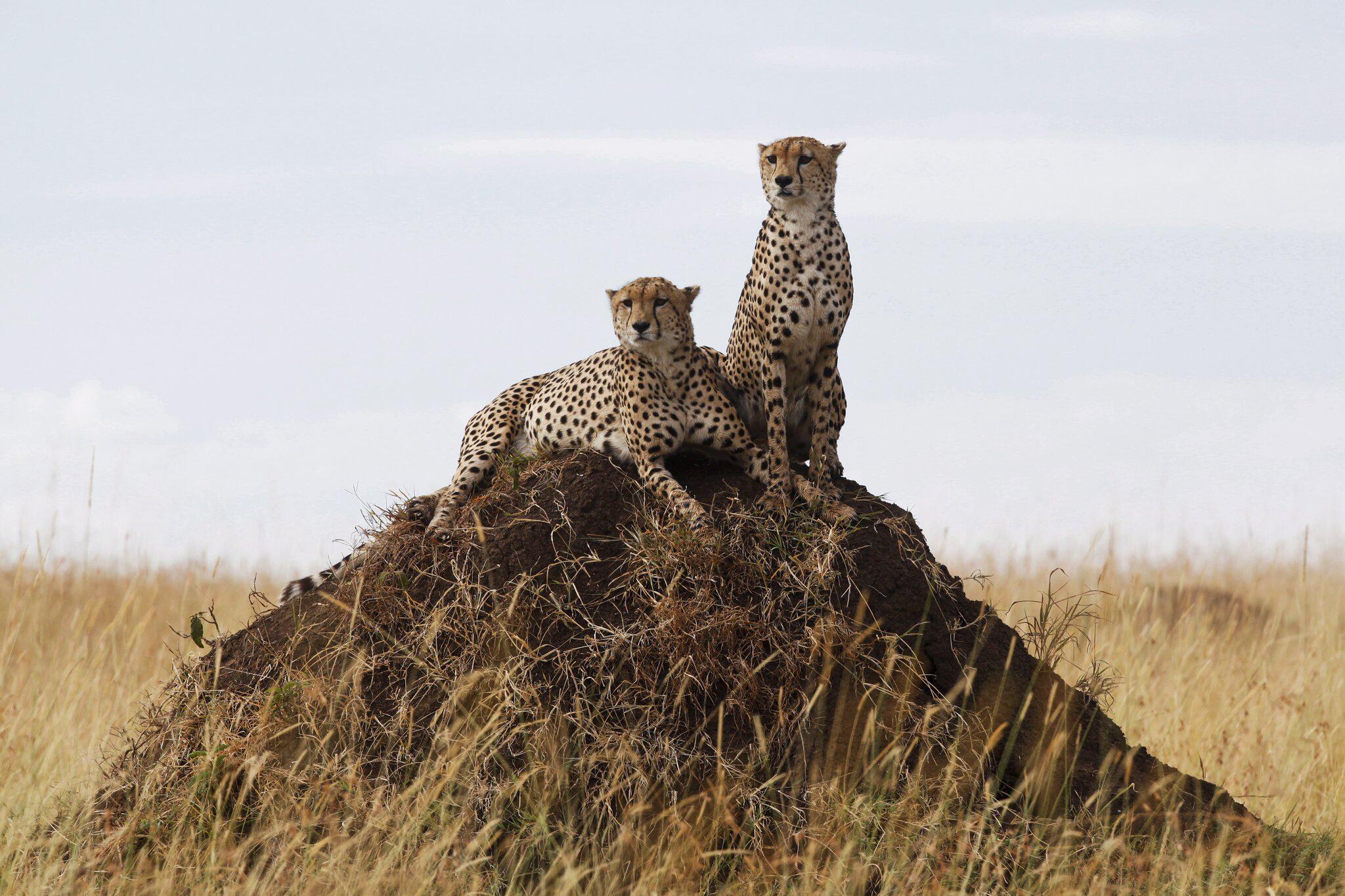 Bild zu Geparde in Kenia