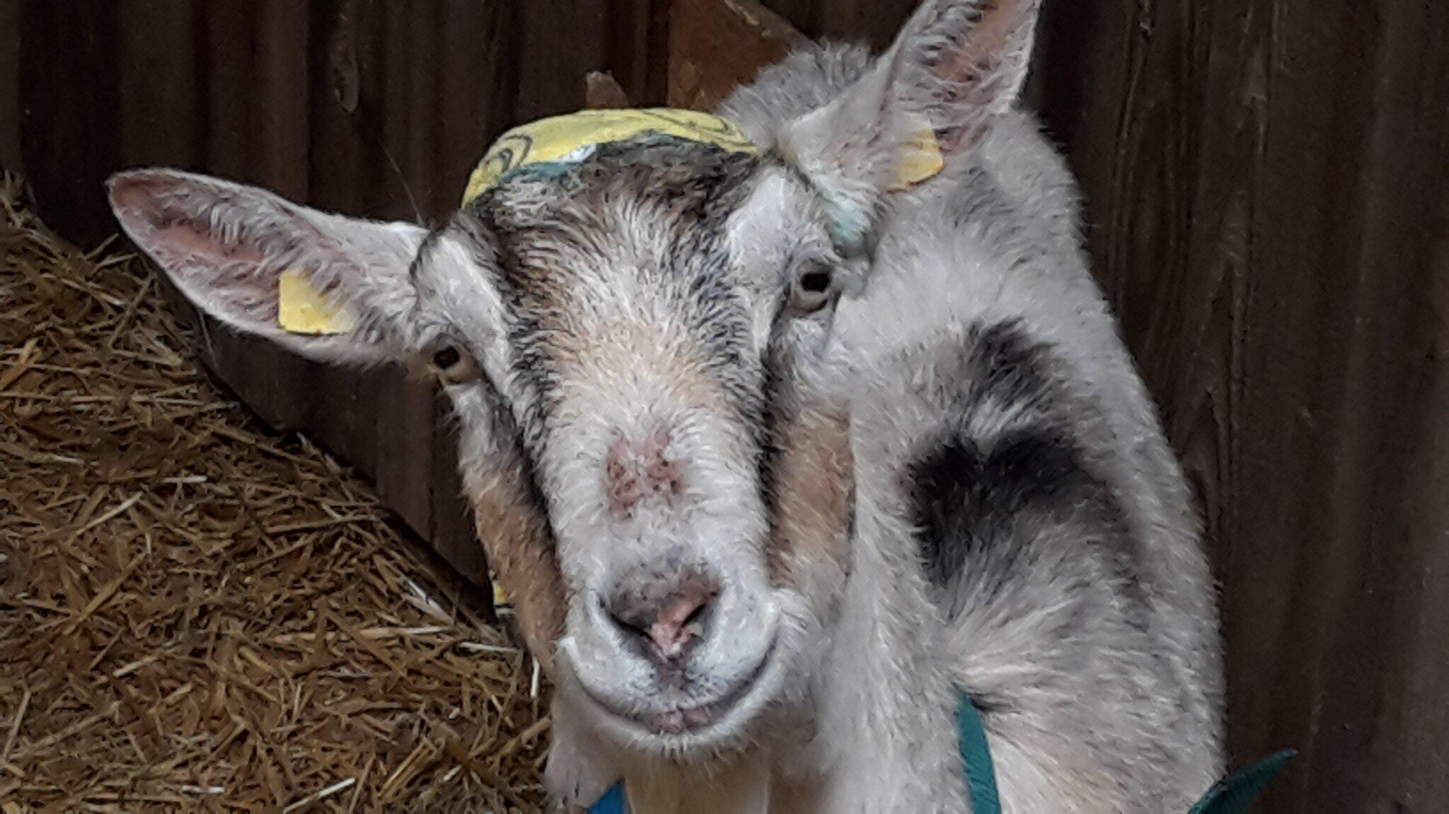 Bild zu Gerettete Steinbruch-Ziege aus Unterfranken