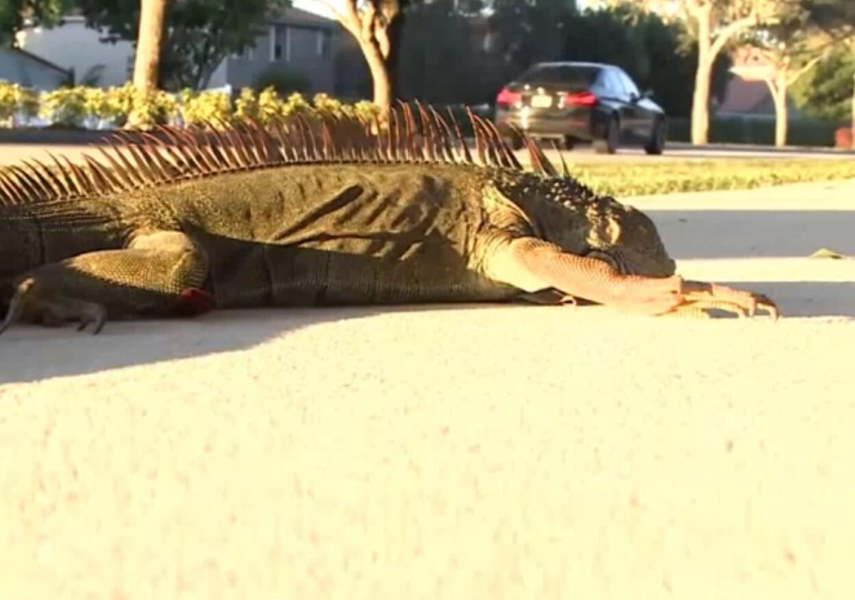 Bild zu Leguane, Florida
