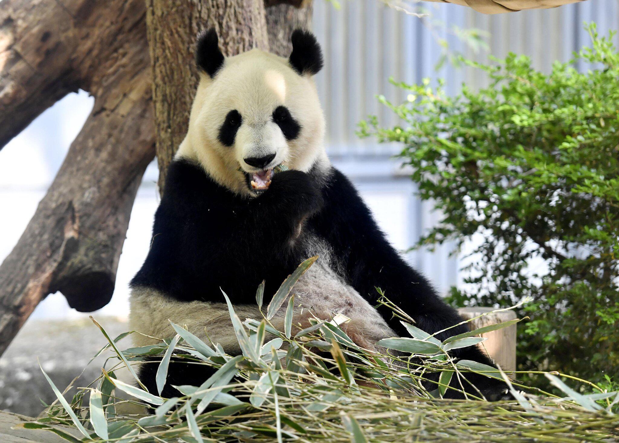 Bild zu Panda-Nachwuchs im Zoo von Tokio