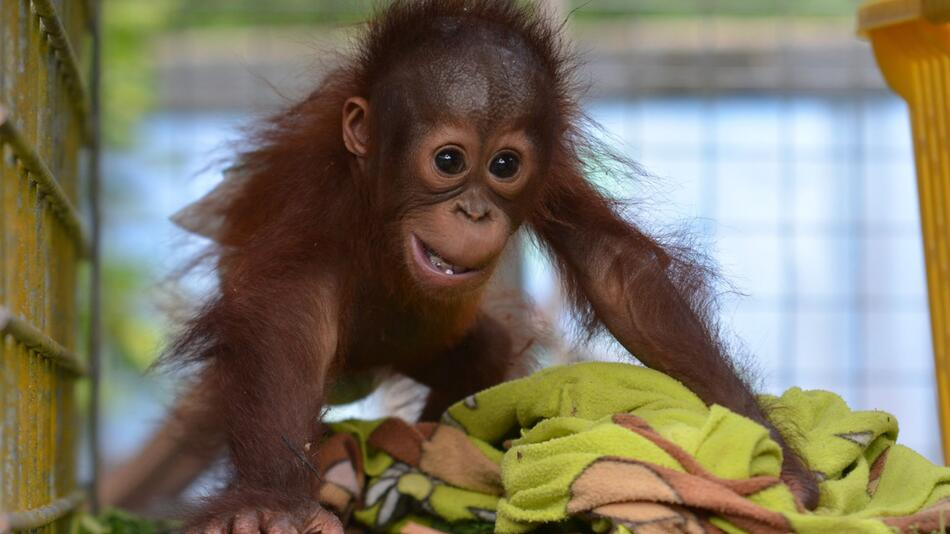 Orang-Utan-Babys auf Borneo gerettet