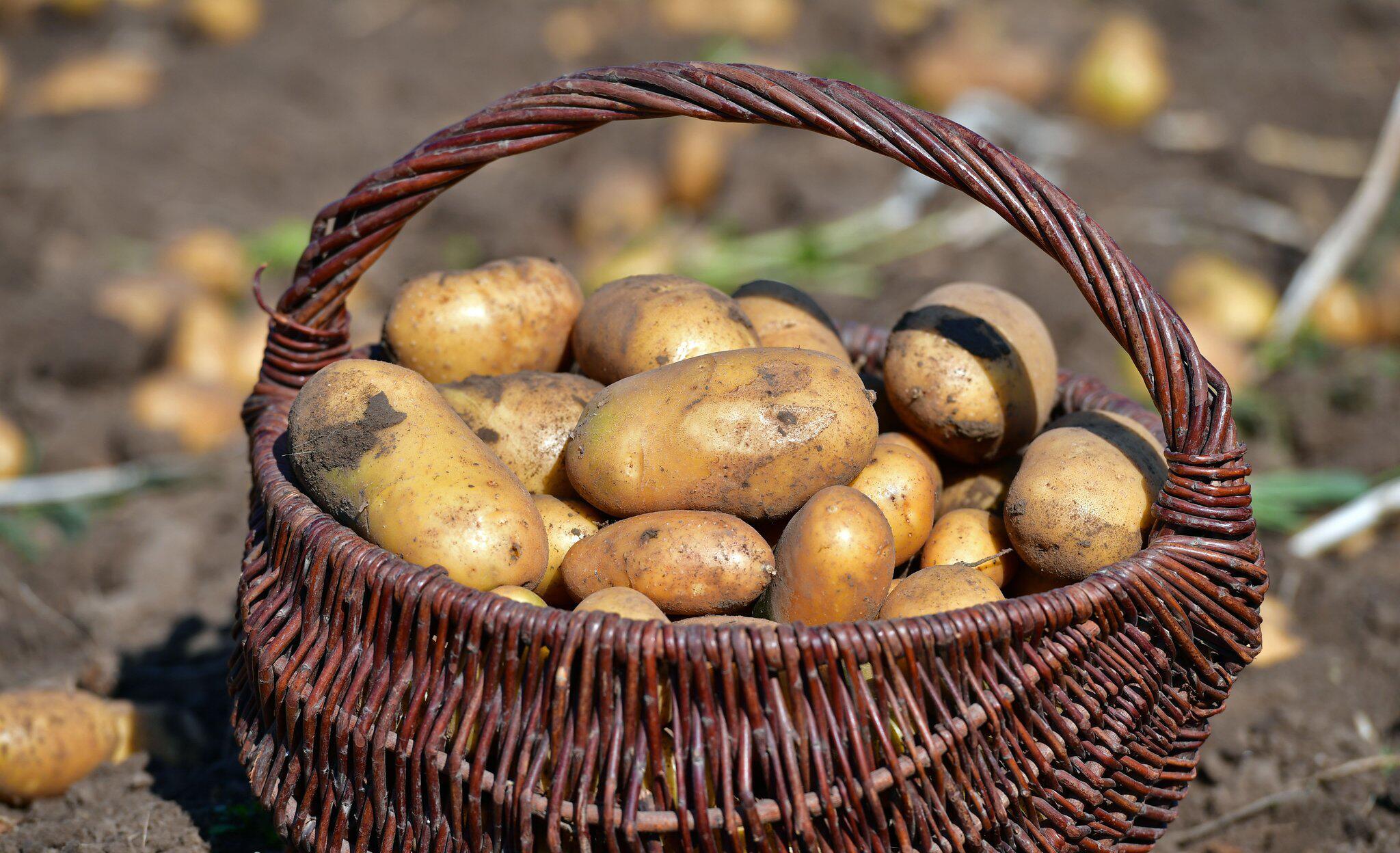 Bild zu Teure «Kartoffelkatastrophe» in Thüringen erwartet