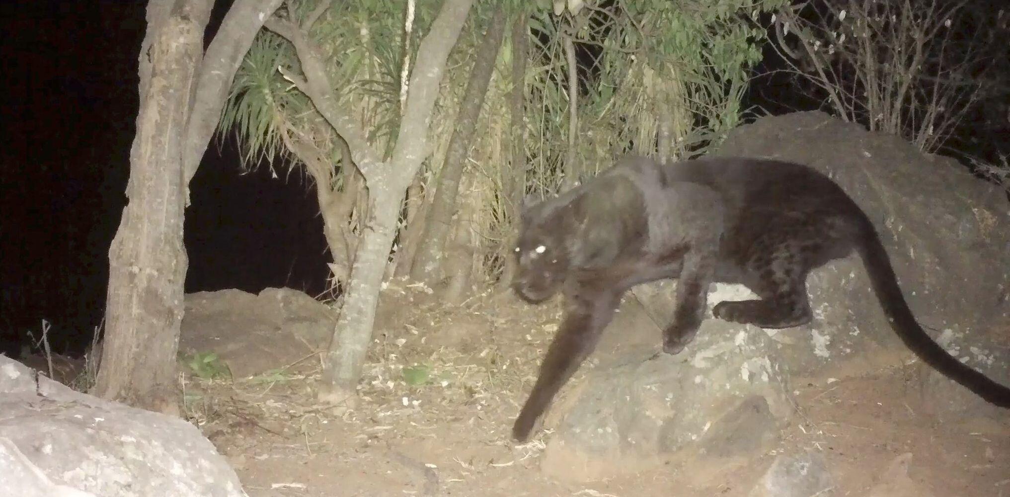 Bild zu Seltener schwarzer Leopard gefilmt
