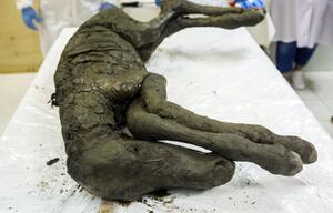 Pferde-Fossil
