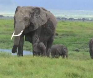 Elefanten, Zwillinge, Geburt, NAtionalpark, Kenia