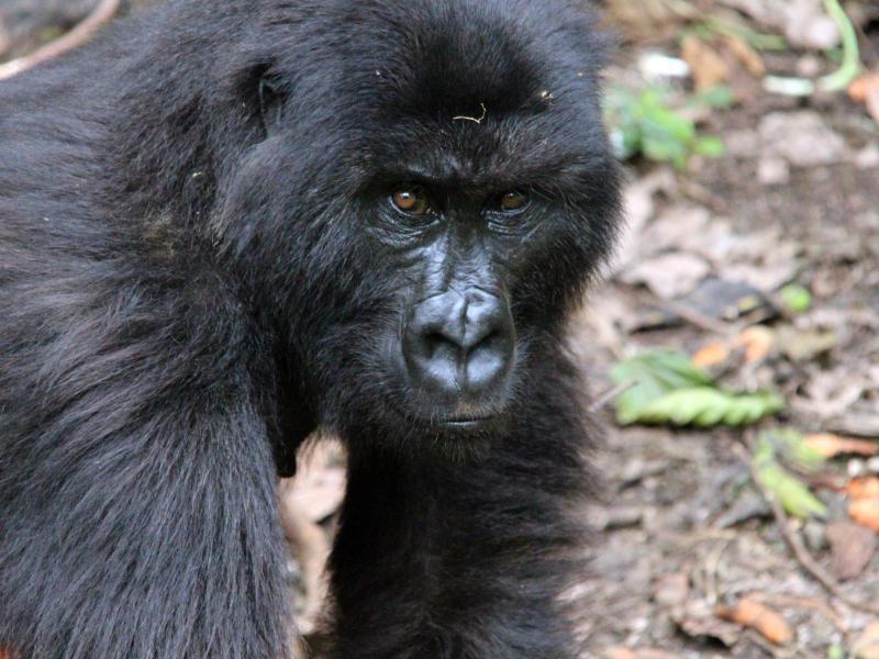 Bild zu Gorilla