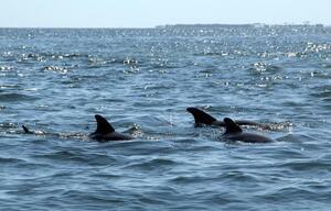 Delfine schwimmen im Meer