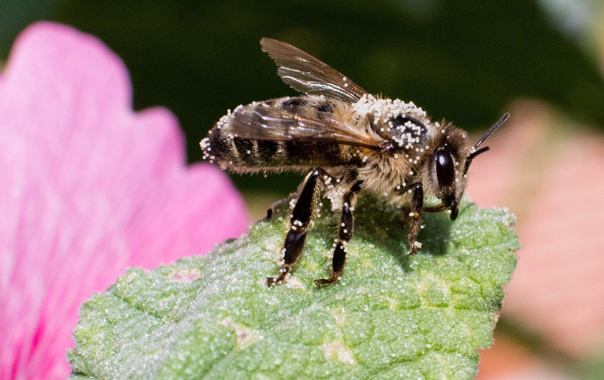 Bild zu Biene