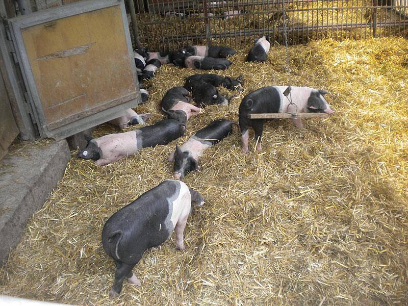 Bild zu Schweine in den Herrmannsdorfer Landwerkstätten